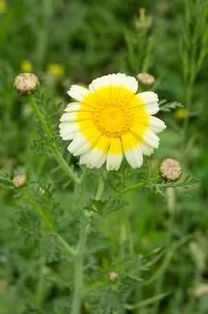 daisy Stock Photo - 13240747