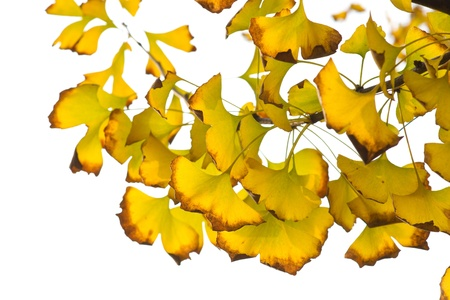 Yellow ginkgo leaves Stock Photo - 13258121