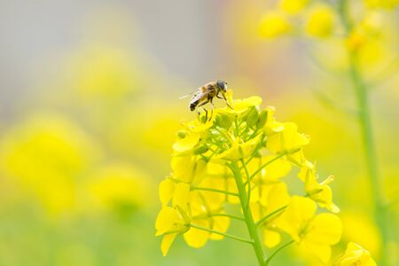 bee with cole flowers Stock Photo - 13227343