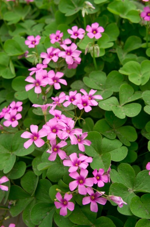 oxalis blooming Stock Photo - 13333695