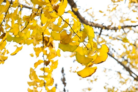Yellow ginkgo leaves Stock Photo - 13333691
