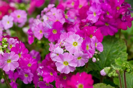 primrose flower blooming photo