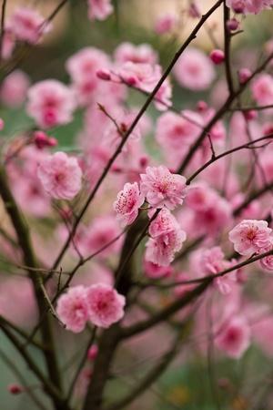 red plum flower photo