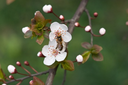 peach blossom and bee Stock Photo - 13385021