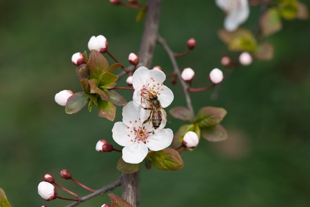 peach blossom and bee  photo
