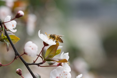 peach blossom and bee Stock Photo - 13333697