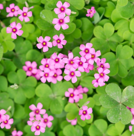 oxalis blooming Stock Photo - 13513371