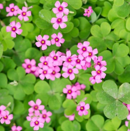 oxalis blooming Stock Photo