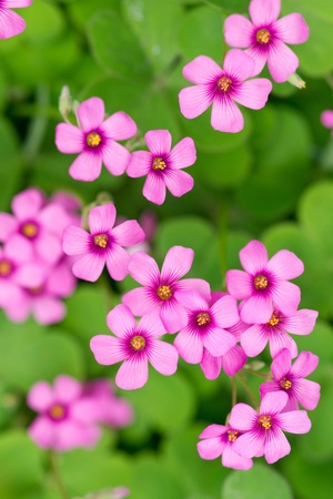 oxalis blooming photo