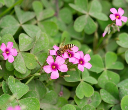 creeping woodsorrel: oxalis flower and bee