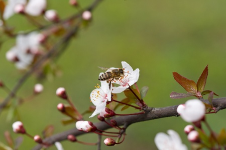 peach blossom and bee Stock Photo - 13640856