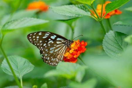 lantana:  butterfly on  Lantana flower Stock Photo