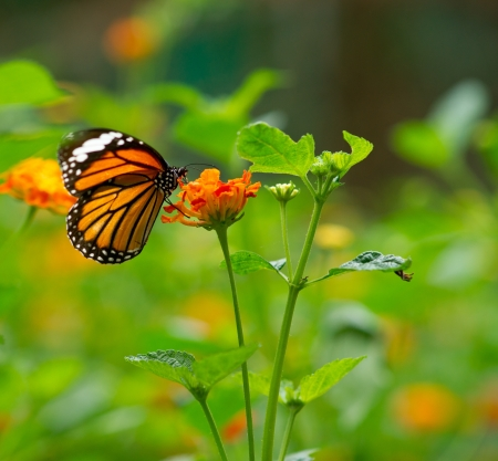 Monarch butterfly on Lantana flower photo