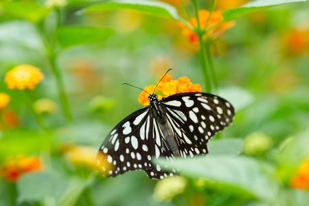 butterfly on  Lantana flower photo