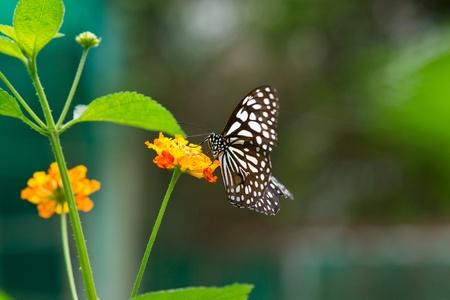 butterfly on  Lantana flower Stock Photo - 15315294