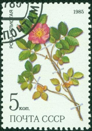 lindi: USSR - CIRCA 1985  a stamp from USSR, shows prickly rose  Rosa acicularis lindi , medicinal plant from Siberia, circa 1985 Editorial