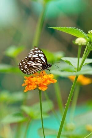 butterfly on Lantana flower Stock Photo - 15865648