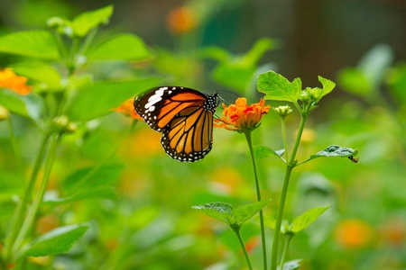 Monarch butterfly on Lantana flower Stock Photo - 15865646