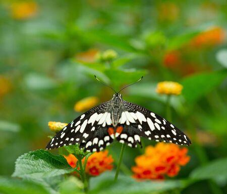 Monarch butterfly on Lantana flower Stock Photo - 15855853