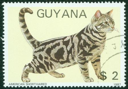 GUYANA - CIRCA 1987  A stamp printed in Guyana, shows American short haired cat, circa 1987 Editöryel