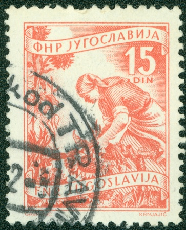 YUGOSLAVIA - CIRCA 1950  A stamp printed in Yugoslavia shows woman picking sunflowers, circa 1950