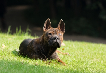 molosse: dog lie in lawn Stock Photo