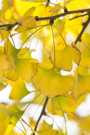 autumnal ginkgo tree
