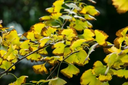 autumnal ginkgo tree