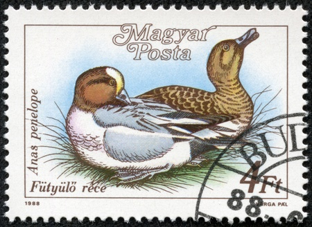 HUNGARY - CIRCA 1988  A stamp printed in HUNGARY shows a Eurasian Wigeon  Anas penelope , from series Ducks, circa 1988 photo