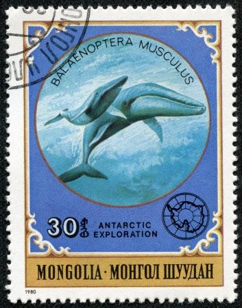 ballena azul: MONGOLIA-alrededor de 1980 Un sello impreso en Mongolia demuestra Blue Whale - Balaenoptera musculus, serie de la exploración antártica, alrededor de 1980 Editorial
