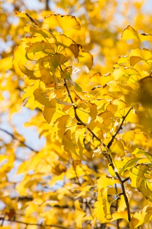 autumnal ginkgo tree photo