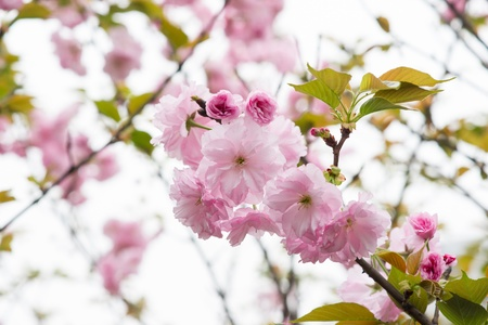 oriental cherry flower Stock Photo - 18953654