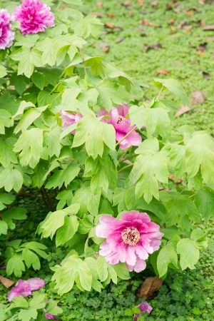 peony tree: Red Peony fiore Paeonia suffruticosa, albero di peonia, mudan fiore peonia fiore � pianta ornamentale originaria della Cina ed � un simbolo importante nella cultura cinese