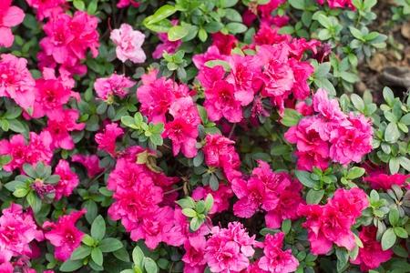red azalea flower Stock Photo - 18953787