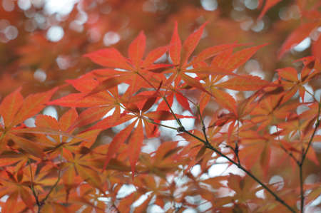 red maple leaves in sushine