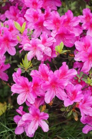 azalea flower Stok Fotoğraf - 19482176