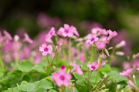 oxalis: oxalis blooming Stock Photo