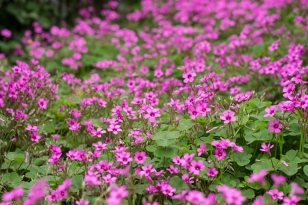 oxalis blooming Stock Photo - 19482191