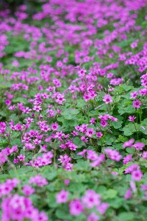 oxalis blooming Stock Photo - 19482188