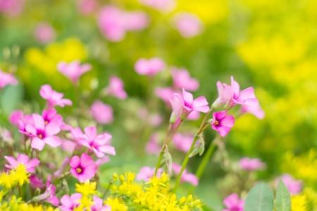 oxalis blooming Stock Photo - 19467466