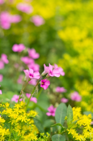 oxalis blooming Stock Photo - 19467487