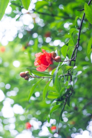 Pomegranate flowers on branch photo