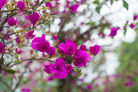 Flowering bougainvillea branch Stock Photo - 19467479