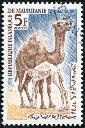 gobi: MAURITANIA - CIRCA 1963  a stamp printed in Islamic Republic of Mauritania shows Dromedary or Arabian camel  Camelus dromedarius , circa 1963 Stock Photo