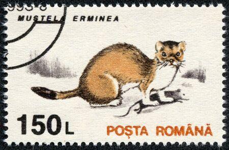 gronostaj: RUMUNIA - OKOŁO 1993 Stempel drukowane w Rumunii pokazuje Gronostaj Mustela erminea, w roku 1993 Zdjęcie Seryjne