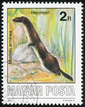 ermine: Hungr�a - CIRCA 1986 Un sello impreso en Hungr�a muestra Armi�o o armi�o - Mustela erminea, alrededor de 1986