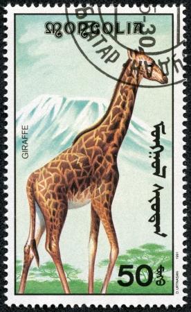 terrestrial mammal: MONGOLIA - CIRCA 1991  stamp printed by Mongolia, shows a giraffe, circa 1991
