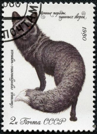silver fox: URSS - CIRCA 1980 Un sello impreso en la URSS muestra un zorro plateado oscuro, series valiosas especies de animales de pieles, alrededor de 1980 Foto de archivo