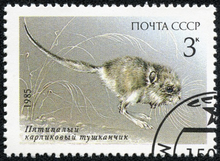 pygmy: USSR - CIRCA 1985  A Stamp printed in USSR  Russia  shows a image of a Endangered animal with the inscription  Cardiocranius paradoxus , from the series  Endangered Wildlife , circa 1985 Stock Photo