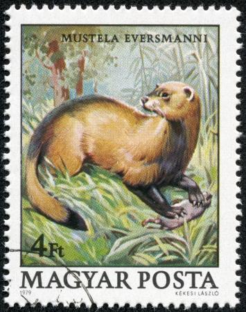 magyar: HUNGARY - CIRCA 1979  A stamp printed in Hungary shows image of Mustela Evermanni circa 1979  Stock Photo